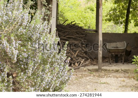 rosemary bush in bloom - stock photo