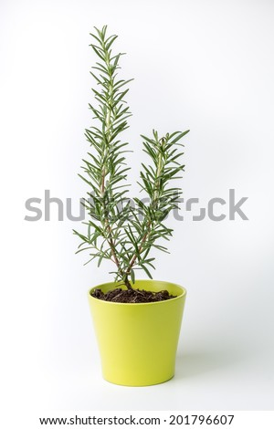 Rosemary herb on a white background, studio isolated