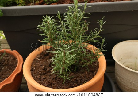 Rosemary in a pot in the garden