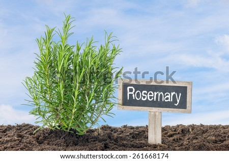 Rosemary in the garden with a wooden label - stock photo