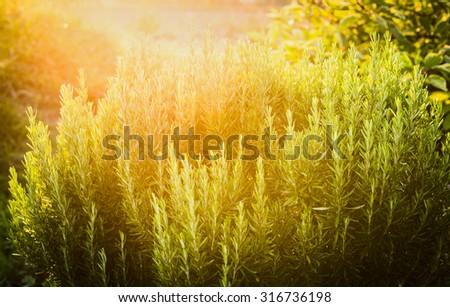Rosemary plant herb garden on sunny nature background - stock photo