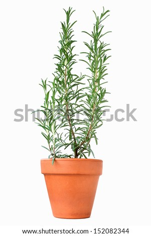 Rosemary plant in clay pot - Rosmarinus officinalis. - stock photo