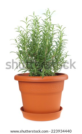 Rosemary plant in clay pot,  Rosmarinus officinalis.