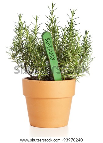 Rosemary plant in flower pot with name tag isolated
