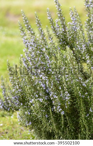 rosemary plant isolated in outdoor countryside - stock photo