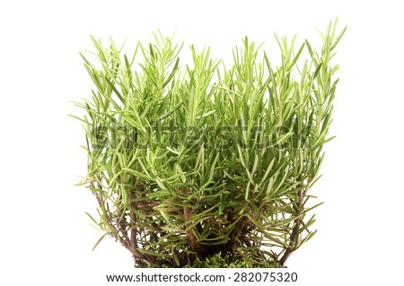 Rosemary plant on a white background - stock photo