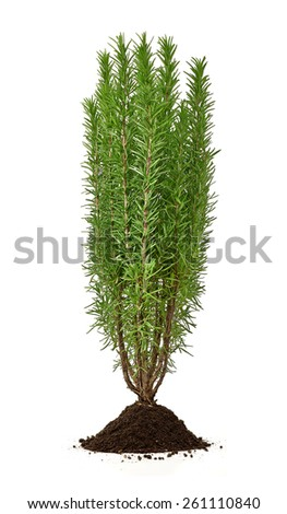 Rosemary plant with soil on white background - stock photo