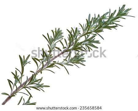 Rosemary (Rosmarinus officinalis) sprig isolated on white background - stock photo