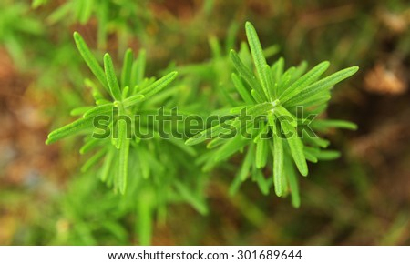 Rosemary tree - stock photo