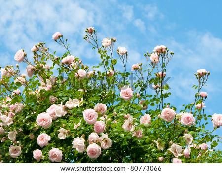 roses against blue sky. Rose Garden in the Prague - stock photo