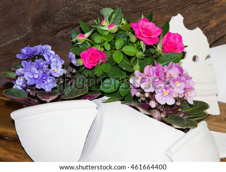 Roses and Viola plants, decoratet with clay shards, a rusic and creative home decoration.