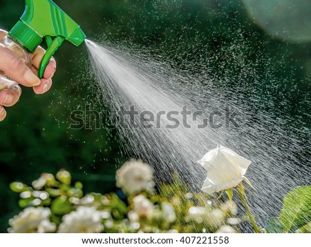 roses are sprayed - stock photo