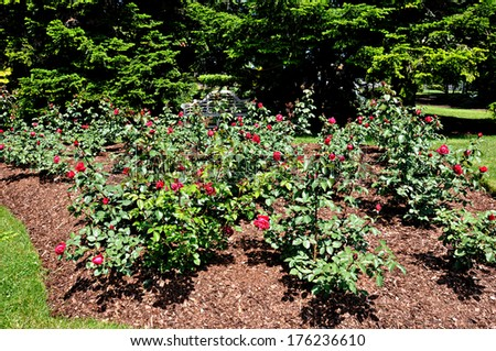 Roses flowerbed - stock photo