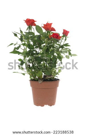 Roses in a flower pot isolated on white