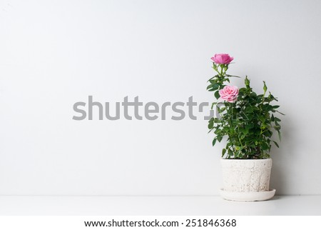 Roses in a pot on a white background - stock photo