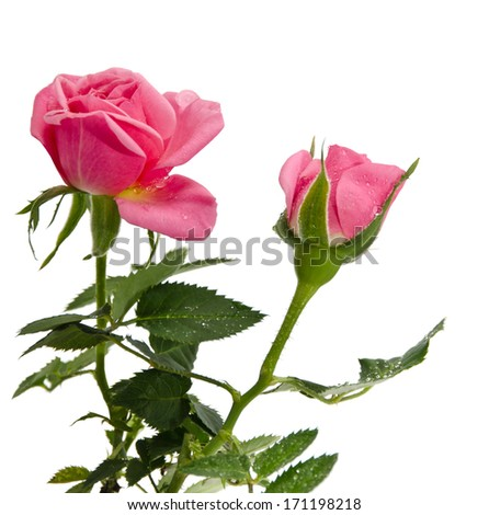 roses in dew drops isolated on a white background - stock photo