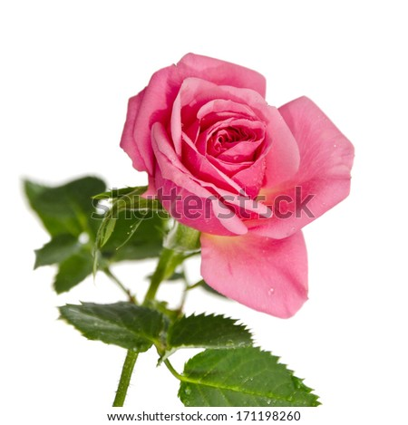 roses in dew drops isolated on a white background