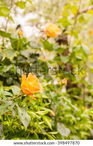 Roses in garden - stock photo