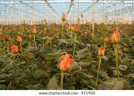 roses in hothouse - stock photo