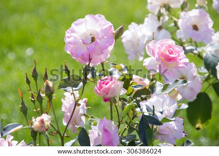 Roses in the garden  - stock photo
