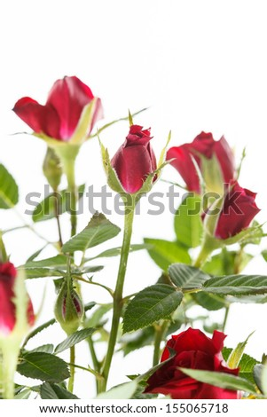 roses in the pot - stock photo