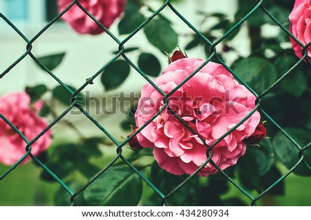 Roses near garden fence - stock photo