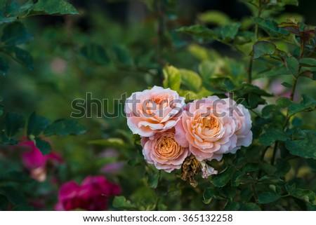 Roses on a bush in a garden. Shallow DOF - stock photo