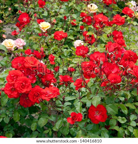 Roses on flowerbed in the street of Madrid, Spain - stock photo