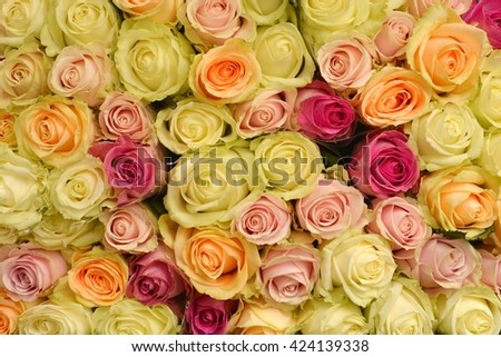 Roses. Roses background. Fresh roses.Roses. Rose for love. Roses. Roses card. Pink roses. Roses. Orange roses. Yellow roses. Roses as background.  - stock photo