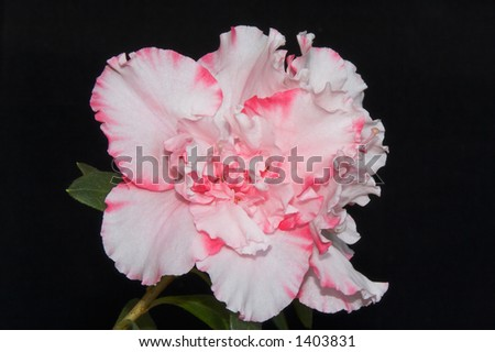 Rosy and white delicate azalea blossom took on black background