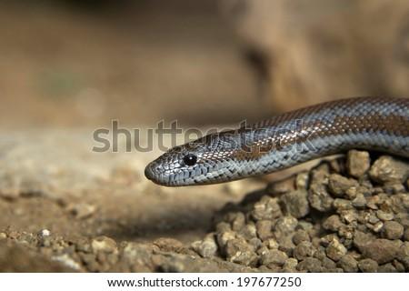 Rosy Boa a small attractive non-venomous snake - stock photo