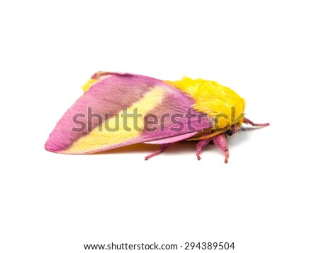 Rosy Maple Moth (Dryocampa rubicunda) on a white background - stock photo