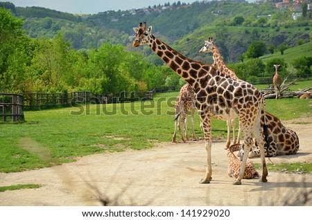 Rothschild giraffe in captivity at the ZOO in Prague - stock photo