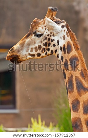 Rothschild giraffe in zoo. Head and long neck.