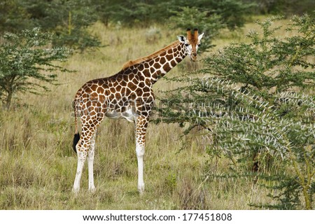 Rothschild's Giraffe eating, Lake Nakuru National Park, Kenya, Giraffa camelopardalis rothschildi