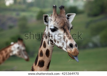 Rothschild's giraffe (Giraffa camelopardalis rothschildi). Wildlife animal.  - stock photo