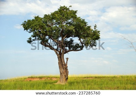 Rothschild's giraffe hiding behind tree at Murchison Falls National Park in Uganda