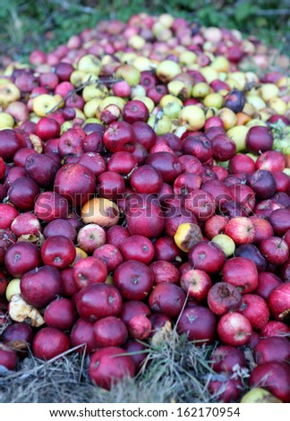 Rotten apples. - stock photo