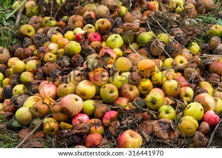Rotten apples on a compost heap on an allotment site - stock photo