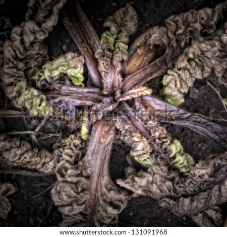 Rotting Chard on the vegetable garden ground/Artistically alienated to create a grungy somber atmosphere. - stock photo