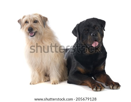 rottweiler and pyrenean shepherd in front of white background