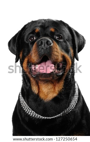 Rottweiler dog and  a shih tzu dog in studio - stock photo