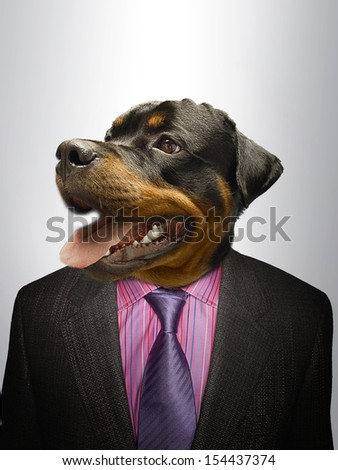 Rottweiler Dog  dressed up as formal business man  - stock photo
