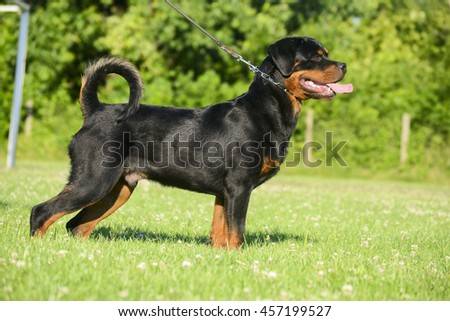 Rottweiler dog in the stand.