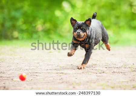 Rottweiler dog playing with a ball