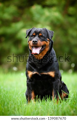 Rottweiler dog portrait outdoors - stock photo