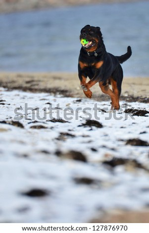 Rottweiler enjoying a game of Fetch running back towards the camera across snow with a ball in its mouth - stock photo