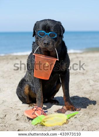 rottweiler holding a bucket on the beach - stock photo