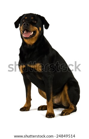 Rottweiler isolated on a white background