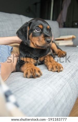 Rottweiler Mix Puppy Relaxing on Sofa with it's Human